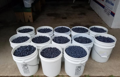 13 five gallon pails filled with blueberries